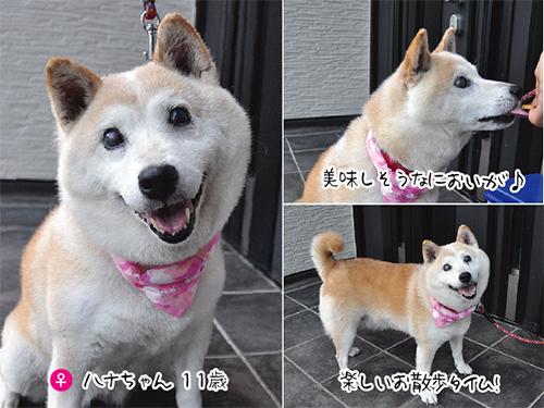 柴犬ハナ 注射
